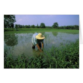 Thailand, Sukhothai. Rice farmer. MR. Greeting Cards