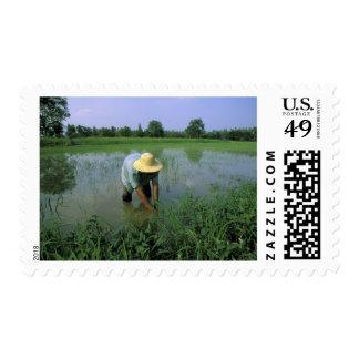 Thailand, Sukhothai. Rice farmer. MR. Stamps