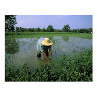 Thailand, Sukhothai. Rice farmer. MR. Postcard