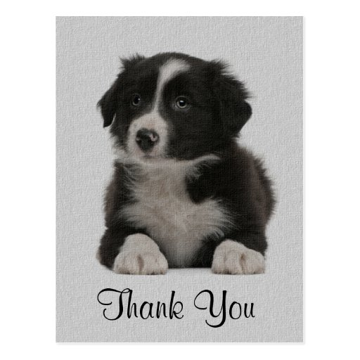 Thank You Border Collie Puppy Dog Post Card   Zazzle