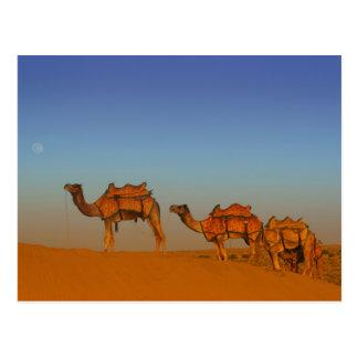 Thar desert, Rajasthan India. Camels along the Postcard