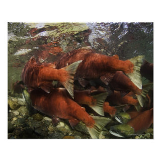 The Adams River sockeye run is one of the Poster