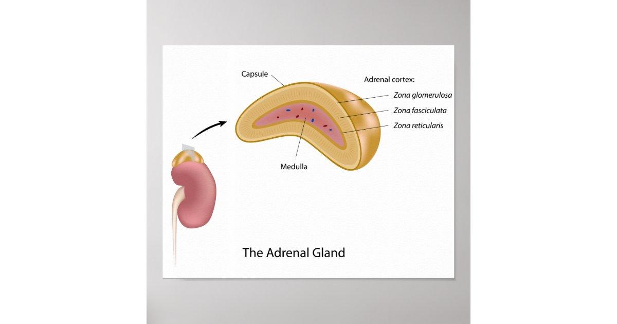 The Adrenal Gland Poster Zazzle