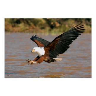 The African Fish Eagle (Haliaeetus Vocifer) Poster