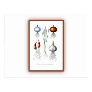 The Allium Family Postcard