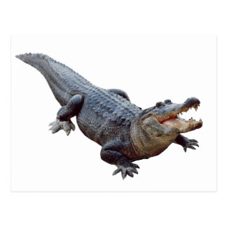 THE AMERICAN ALLIGATOR POSTCARD