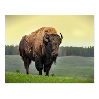 The American Bison Postcard