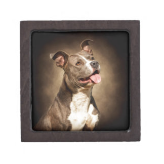 The American Blue Pit-Bull Jewelry Box