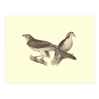 The American Goshawk Astur atricapillus Postcard