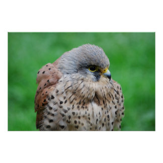 The American kestrel hawk Poster