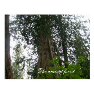 The Ancient Forest Post Card