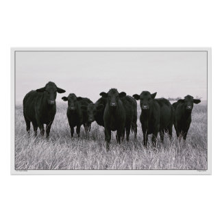 The Angus Gang - Black Angus Cattle - Texas Poster