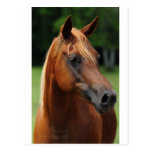 The Arabian mare Post Card