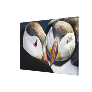 The Atlantic Puffin, a pelagic seabird, shown 2 Stretched Canvas Prints