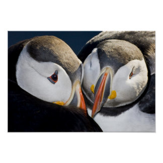 The Atlantic Puffin, a pelagic seabird, shown 2 Posters