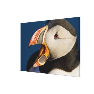The Atlantic Puffin, a pelagic seabird, shown Canvas Print