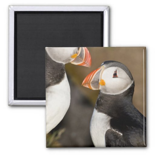 The Atlantic Puffin, a pelagic seabird, shown Refrigerator Magnets