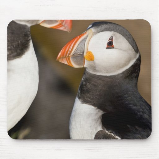 The Atlantic Puffin, a pelagic seabird, shown Mouse Pads