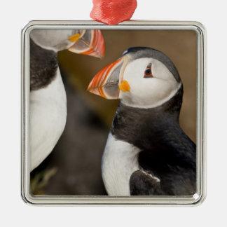 The Atlantic Puffin a pelagic seabird shown Christmas Ornaments