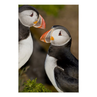 The Atlantic Puffin, a pelagic seabird, shown Poster