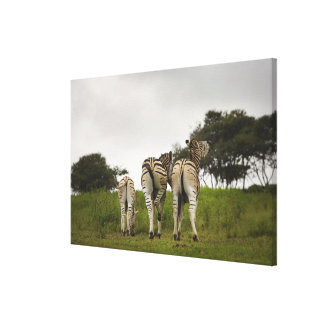 The backside of three zebras, South Africa Canvas Print