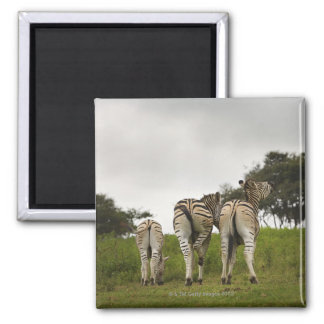 The backside of three zebras, South Africa Magnet