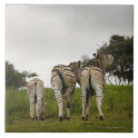 The backside of three zebras, South Africa Tile