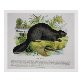 The Beaver, educational illustration pub. by the S Poster