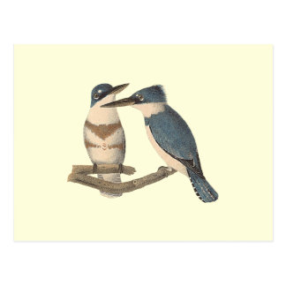 The Belted Kingfisher (Alcedo alcyon) Postcard