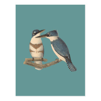 The Belted Kingfisher (Alcedo alcyon) Postcards