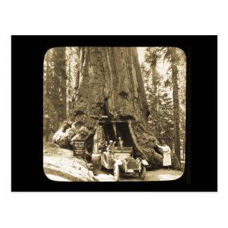 The Big Trees of Mariposa Grove Postcard