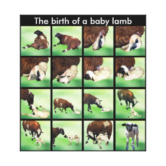 The birth of a baby lamb gallery wrapped canvas