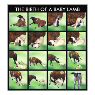 The birth of a baby lamb photo print