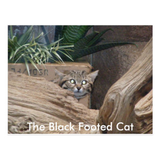 The Black Footed Cat Postcard
