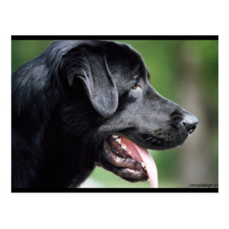 The Black Labrador Postcard