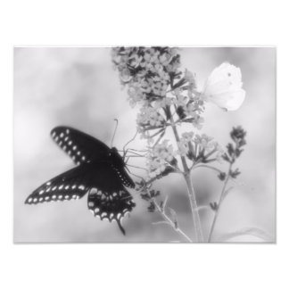 The Black One The White One Butterfly Photograph