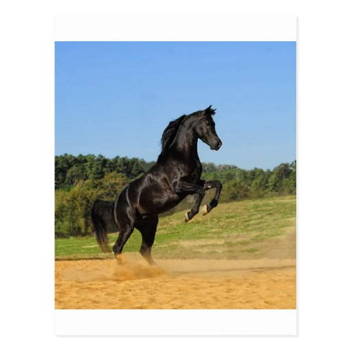 The Black Stallion Post Cards