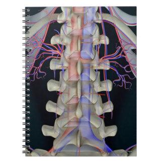 The blood supply of lumbar vertebrae notebook