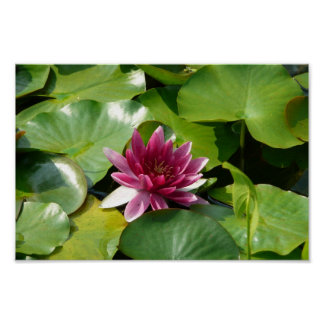 The Blooming Pink Waterlily Poster