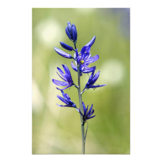 The blossom of a camas lily in Valley County, Photo Print