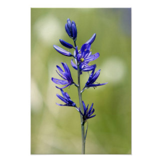 The blossom of a camas lily in Valley County, Poster