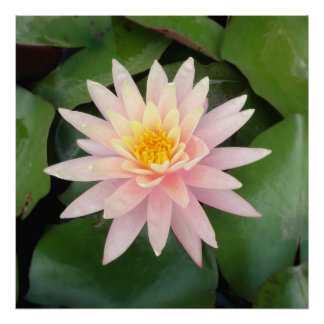 The Blossom of a Pink Water Lily Poster