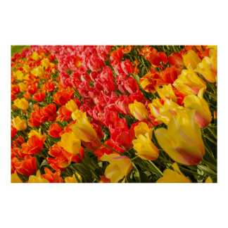 THE BLOSSOMING OF TULIPS  IN A PARK POSTER