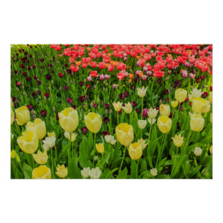 the blossoming of tulips in a park  poster paper