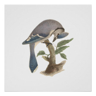 The Blue Jay(Garrulus cristatus) Poster
