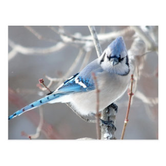 The Bluejay 1 Postcard