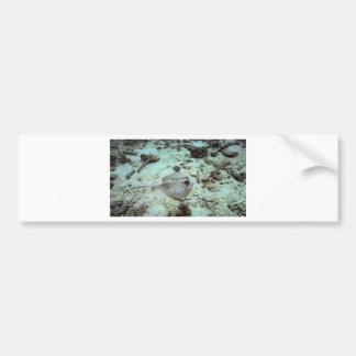 The bluespotted stingray or Kuhl's stingray Bumper Sticker