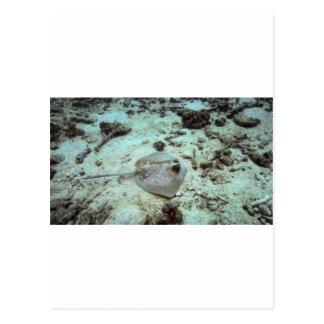 The bluespotted stingray or Kuhl's stingray Postcard
