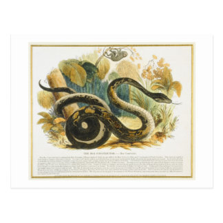 The Boa Constrictor, educational illustration pub. Postcard