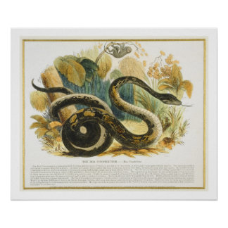 The Boa Constrictor, educational illustration pub. Poster
